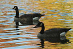 Two geese a swimming